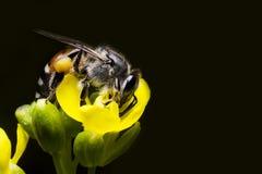 Una abeja se encarama en la flor amarilla Fotografía de archivo libre de regalías