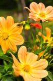 Una abeja se está moviendo desde la flor para florecer mientras que recoge el polen Fotos de archivo