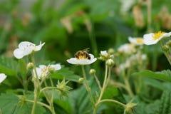 Una abeja se está sentando en una flor de la fresa Imagen de archivo