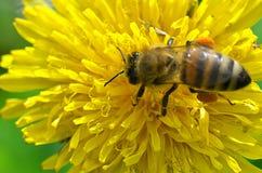 Una abeja se sienta en el diente de león amarillo, foto de la primavera Fotos de archivo libres de regalías