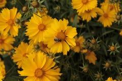 Una abeja se sienta en una manzanilla amarilla Imagen de archivo