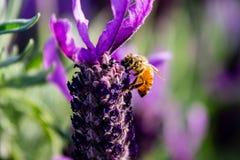 Una abeja sube una macro de la flor del romero Imagen de archivo