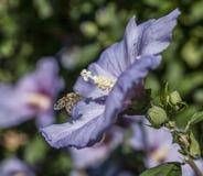 Una abeja sucia y una flor Imagenes de archivo