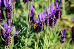 Una abeja visita las flores de un romero del racimo Fotos de archivo libres de regalías