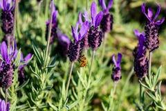 Una abeja visita las flores de un romero del racimo más de par en par Imagenes de archivo