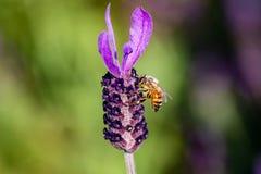 Una abeja visita una macro de la flor del romero Fotos de archivo