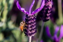 Una abeja visita una macro 2 de la flor del romero Imagenes de archivo