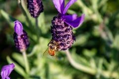 Una abeja visita una macro 2 de la flor del romero Fotos de archivo libres de regalías