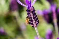 Una abeja visita una macro 3 de la flor del romero Imagenes de archivo