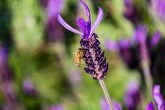 Una abeja visita una macro 4 de la flor del romero Fotos de archivo libres de regalías