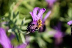 Una abeja visita una macro 7 de la flor del romero Foto de archivo