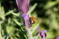 Una abeja visita una macro 8 de la flor del romero Fotos de archivo libres de regalías