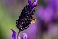 Una abeja visita una macro 8 de la flor del romero Fotografía de archivo libre de regalías