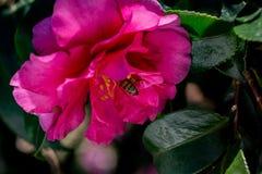Una abeja visita una rosa del invierno, o la camelia, flor Foto de archivo libre de regalías