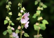 Una abeja visita una flor de la malvarrosa Fotografía de archivo