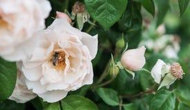 Una abeja viva en el medio de una flor Fotos de archivo