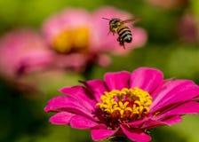 Una abeja vuela de un Zinnia rosado Imagen de archivo
