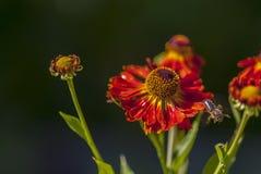 Una abeja vuela lejos de una flor Imagenes de archivo