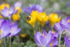 Una abeja vuela a través de cama del azafrán Imagen de archivo libre de regalías