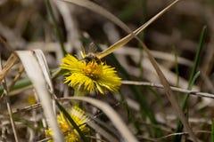Una abeja y una flor Fotos de archivo libres de regalías