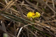 Una abeja y una flor Fotografía de archivo libre de regalías