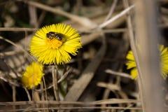 Una abeja y una flor Imagenes de archivo