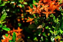 Una abeja y una flor roja Fotografía de archivo libre de regalías