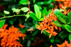 Una abeja y una flor roja Imagenes de archivo