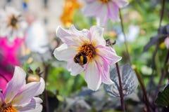 Una abeja y una flor rosada Fotos de archivo