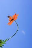 Una abeja y un cosmos de la miel florecen contra el cielo azul Foto de archivo libre de regalías
