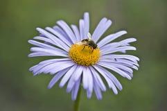 Una abeja y un jején en una manzanilla de la lila Imágenes de archivo libres de regalías