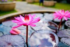 una abeja y un loto rosado Fotografía de archivo libre de regalías