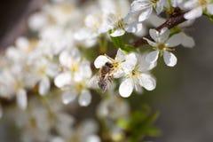 Una abeja y un manzano Imagenes de archivo