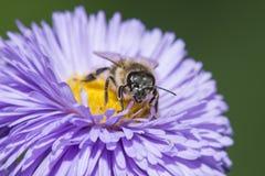 Una abeja y un x28; mellifera& x29 de los apis; Foto de archivo libre de regalías
