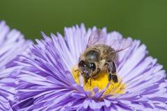 Una abeja y un x28; mellifera& x29 de los apis; Imagenes de archivo