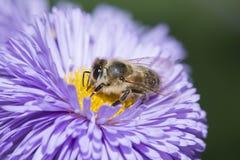 Una abeja y un x28; mellifera& x29 de los apis; Fotos de archivo libres de regalías