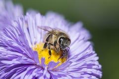 Una abeja y un x28; mellifera& x29 de los apis; Foto de archivo