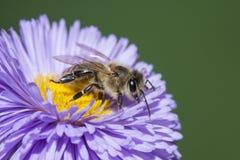 Una abeja y un x28; mellifera& x29 de los apis; Imagen de archivo