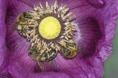 Una abeja y un x28; mellifera& x29 de los apis; Fotos de archivo