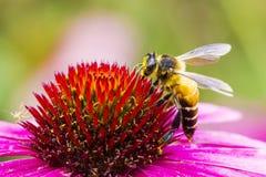 Una abeja y una flor Imagen de archivo libre de regalías