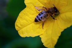 Una abeja y una flor del pepino Imágenes de archivo libres de regalías