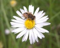 Una abeja y una margarita Imágenes de archivo libres de regalías