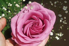 Una abertura color de rosa hermosa sus pétalos Imágenes de archivo libres de regalías