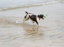 Una acción tiró de un perro del perro de aguas de saltador que jugaba en una playa arenosa imagenes de archivo