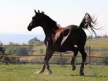 Una acción tirada de un Saddlebred americano Imagenes de archivo