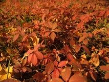 Una alfombra de hojas rojas Fotos de archivo