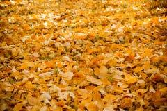 Una alfombra de las hojas de otoño amarillas Foto de archivo