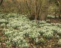 Una alfombra de snowdrops en primavera temprana Fotos de archivo libres de regalías