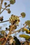 Una alimentación apícola en la planta verde Fotografía de archivo