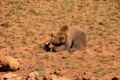 Una alimentación hermosa de los arctos del Ursus del oso marrón imágenes de archivo libres de regalías